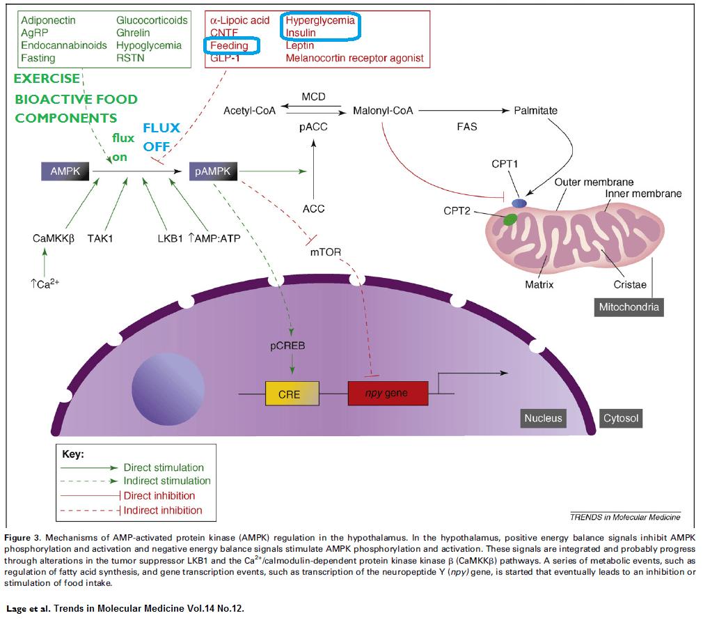Metformin, the liver, and diabetes   diabetes self management