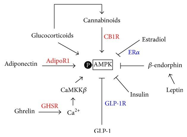 AMPK: Metabolism & Insulin + Ways to Activate - SelfHacked
