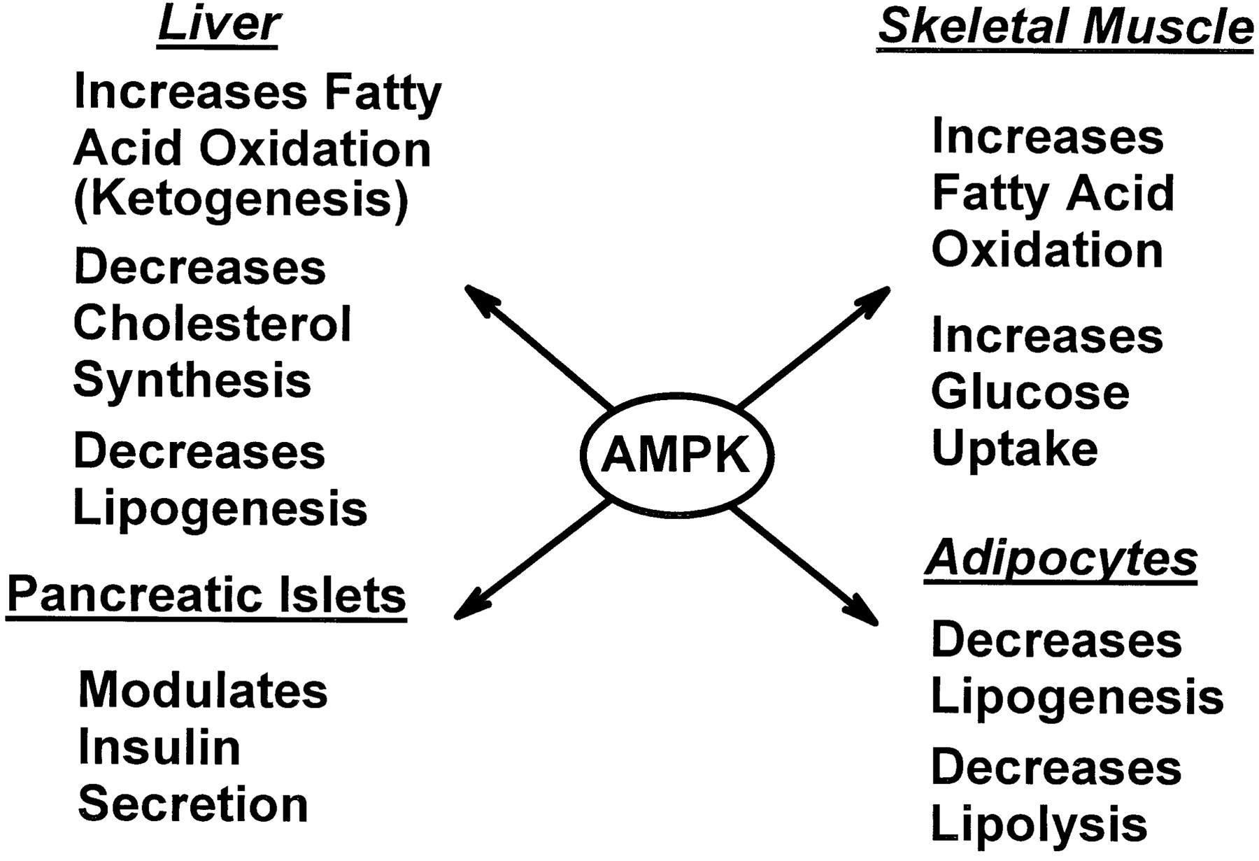 About Ampk And Natural Ampk Activators Selfhacked