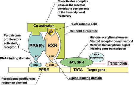 Beneficial effect of farnesoid X receptor activation on metabolism in a diabetic rat model