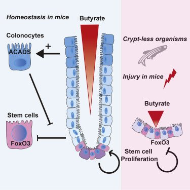 Gut crypt and butyrate