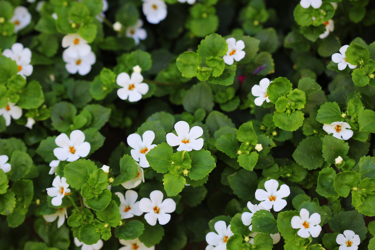 7 Bacopa Monnieri Benefits + Side Effects & Dosage - SelfHacked