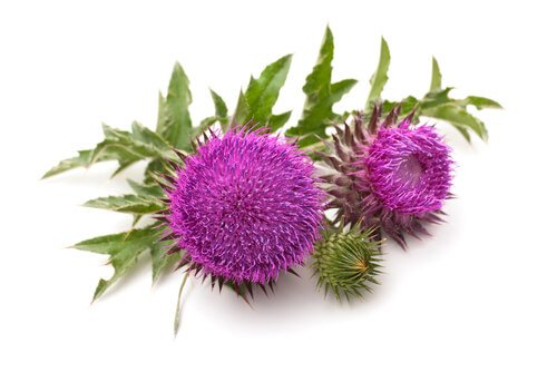 Milk Thistle For Breastfeeding - All You Need To Know