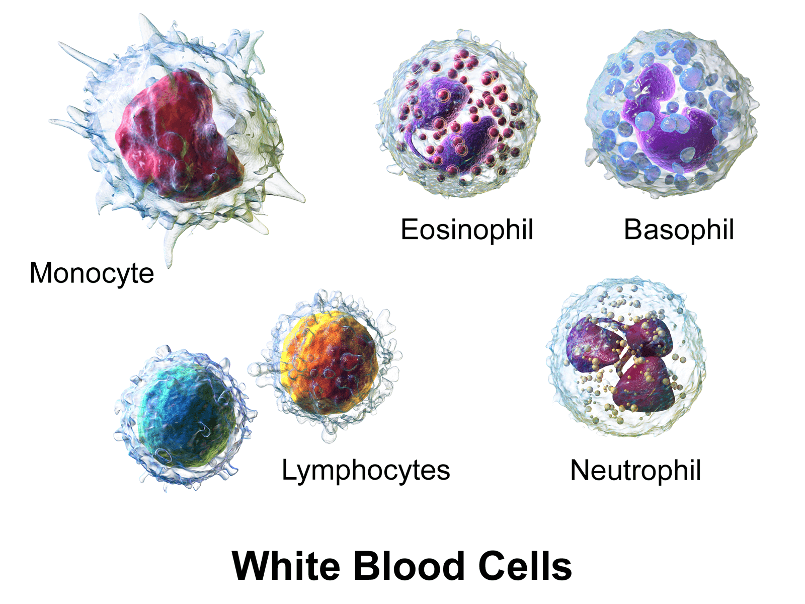 How to Increase Lymphocytes