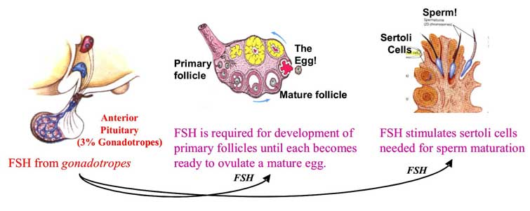 follicle stimulating hormone - selfhacked, Skeleton