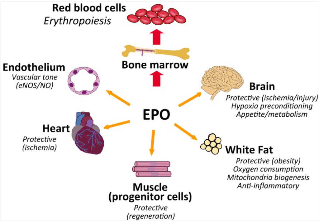 Erythropoietin 101 Amp How To Increase Epo Naturally