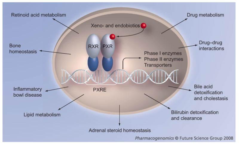 pregnane x receptor