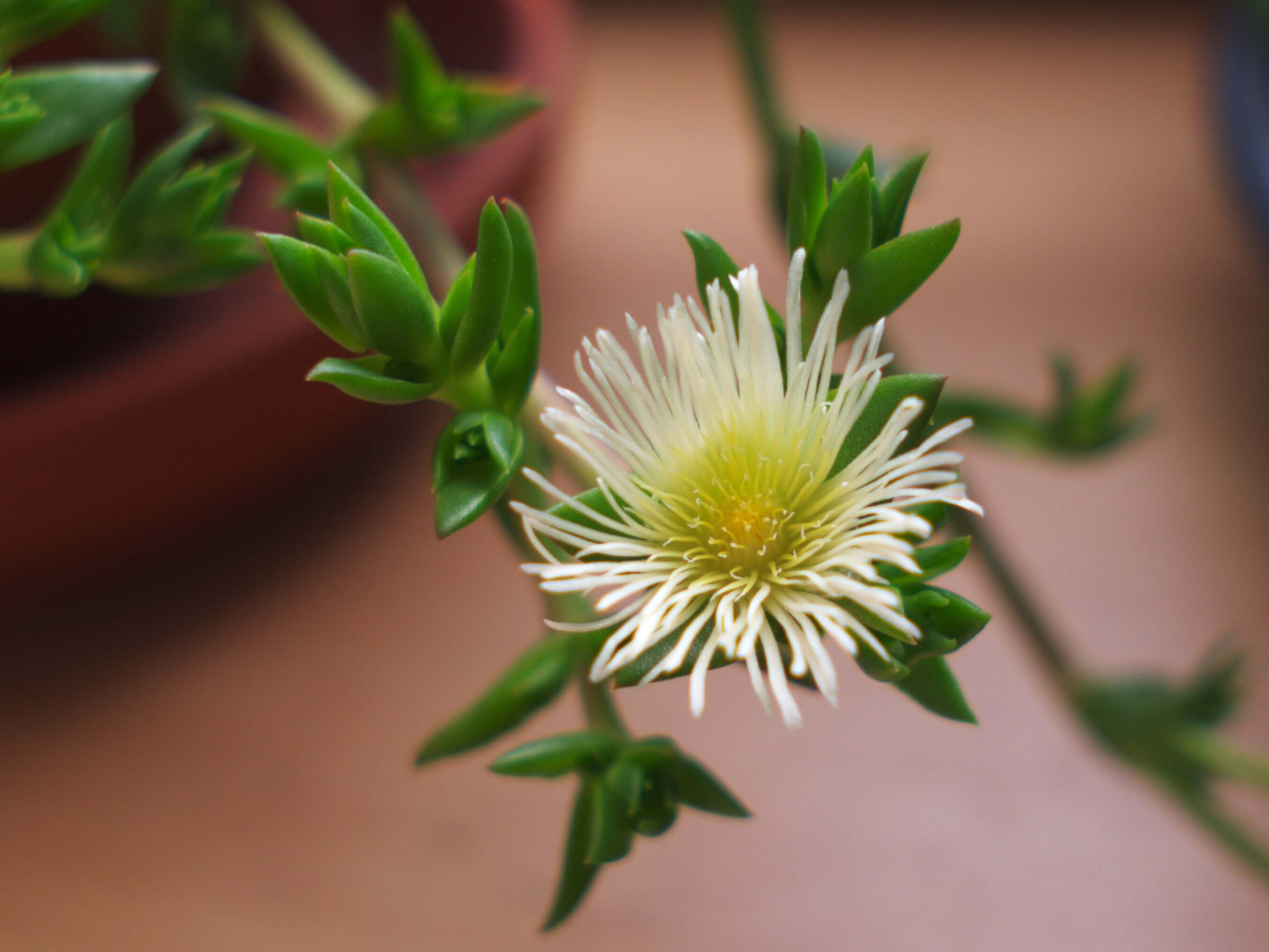 4 Sceletium tortuosum (Kanna) Benefits + Safety & Side Effects - SelfHacked