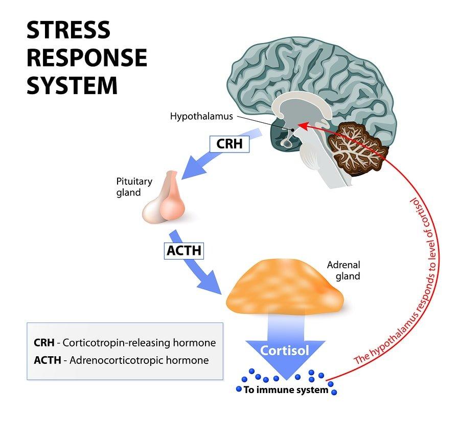 bigstock-Stress-Response-System-99949286-min
