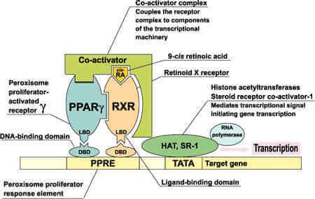 The Vital Role of Retinoid X Receptors (RXR)