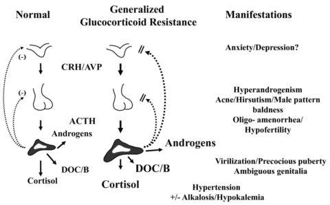 Glucocorticoid Receptors