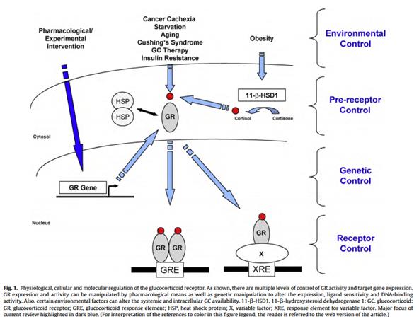 Glucocorticoid receptor