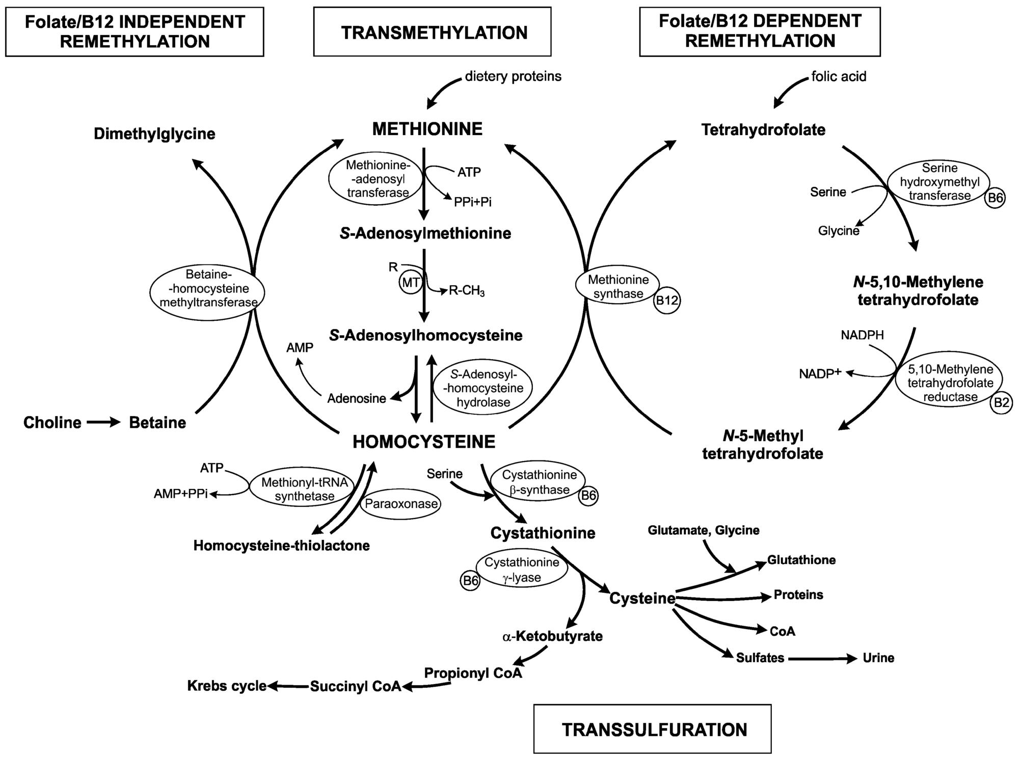 Homocysteine Metabolism https://www.ncbi.nlm.nih.gov/pubmed/27775595