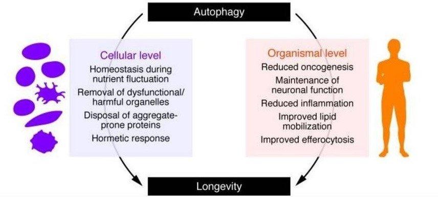 Autophagy benefits