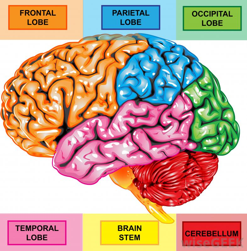 Brain unlabeled diagram of color product wiring diagrams color brain diagram download wiring diagrams u2022 rh wiringdiagramblog today skull diagram unlabeled half brain diagram ccuart Image collections