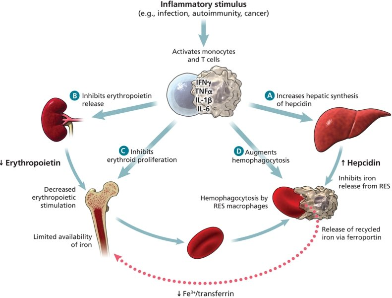 Hemostasis 44004833 additionally 5737527 as well Internal Medicine 51047065 besides Hematologic Changes Of Pregnancy additionally Biomarkers Making Early Detection Mesothelioma Likely. on hematologic system