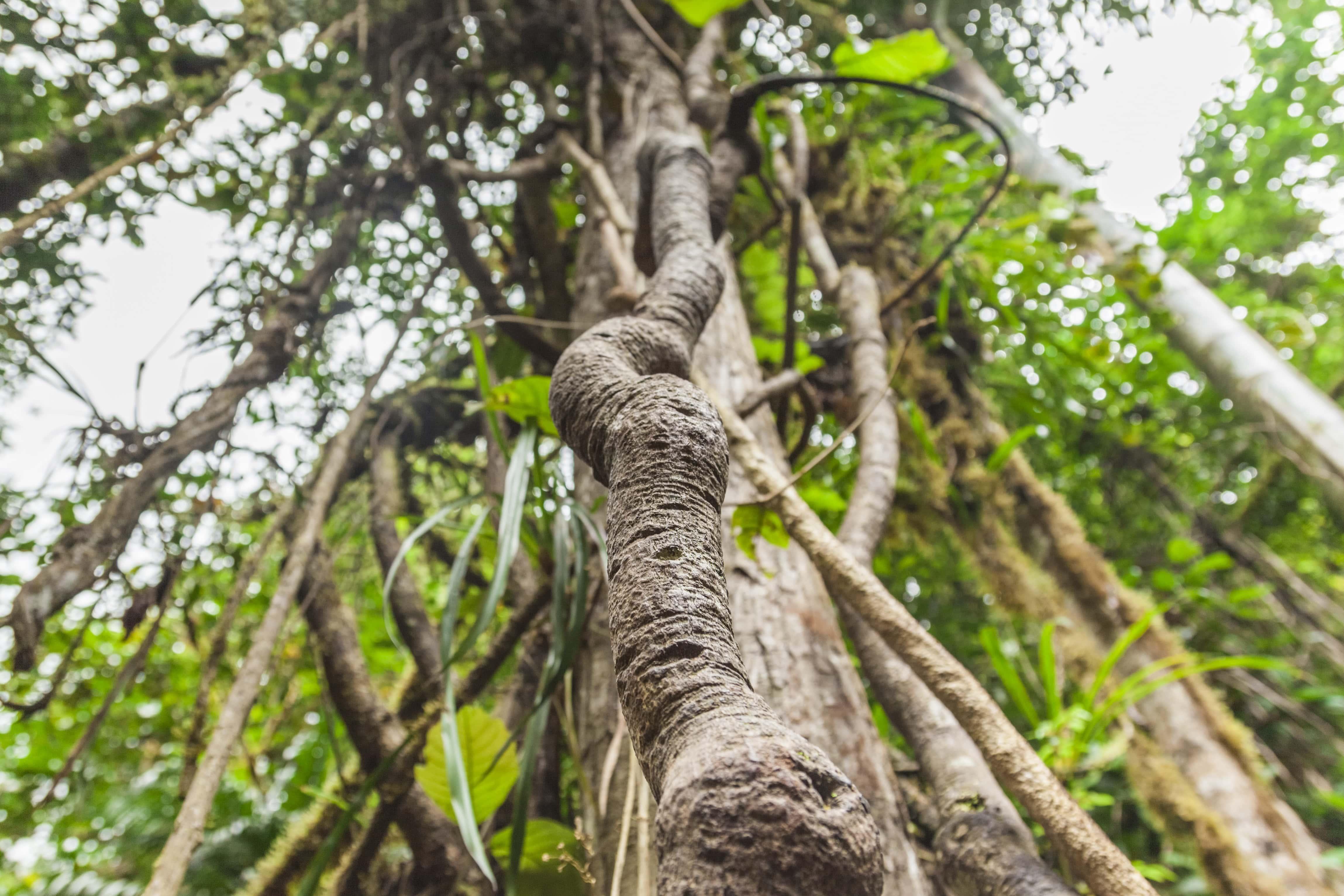 Ayahuasca plant