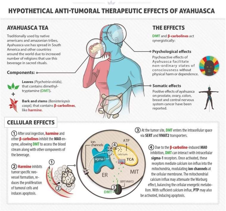 How Ayahuasca combats cancer