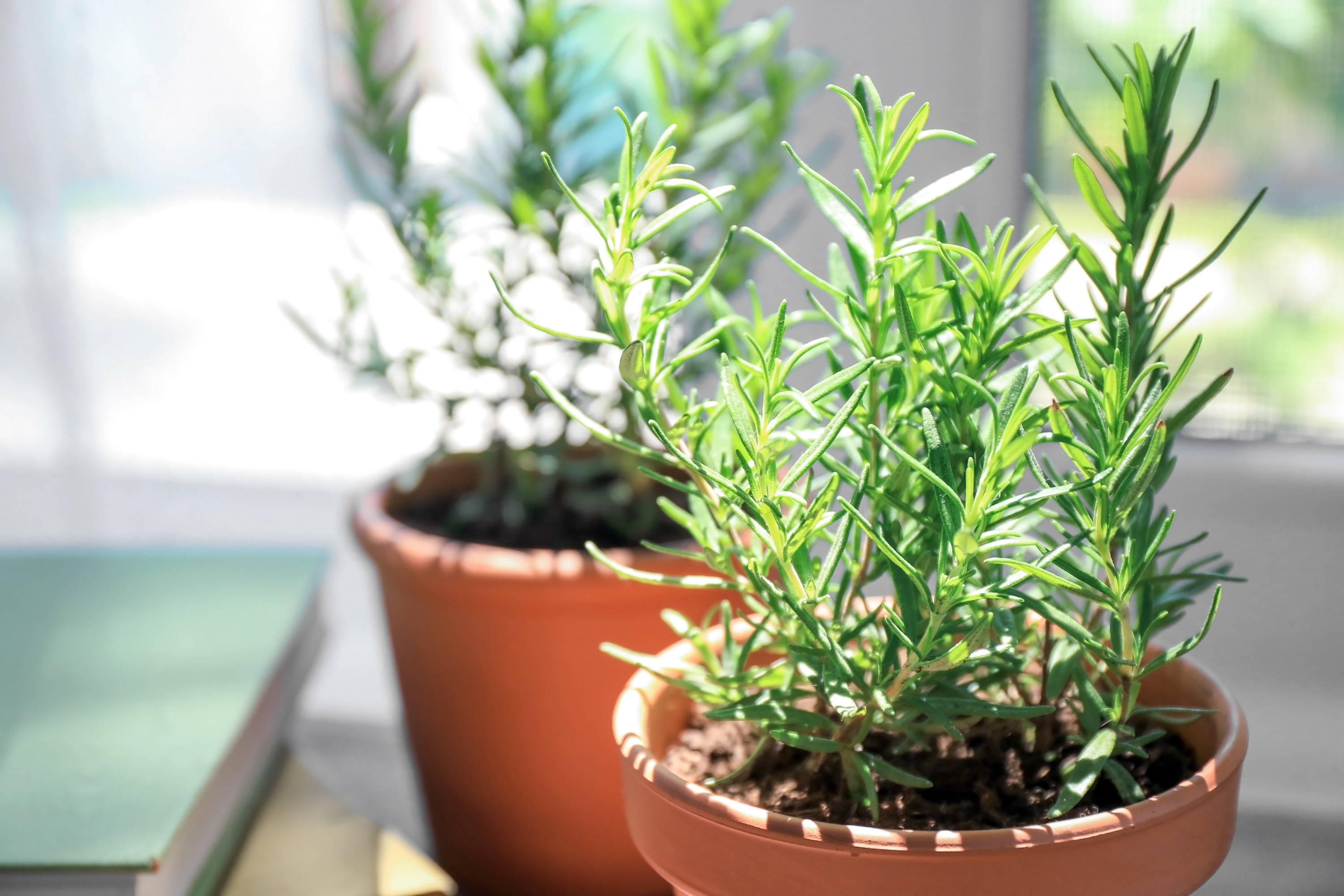 19 Health Benefits of Rosemary + Side Effects - SelfHacked