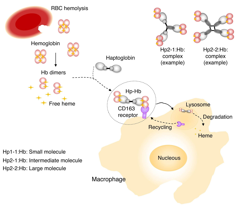 Haptoglobiini