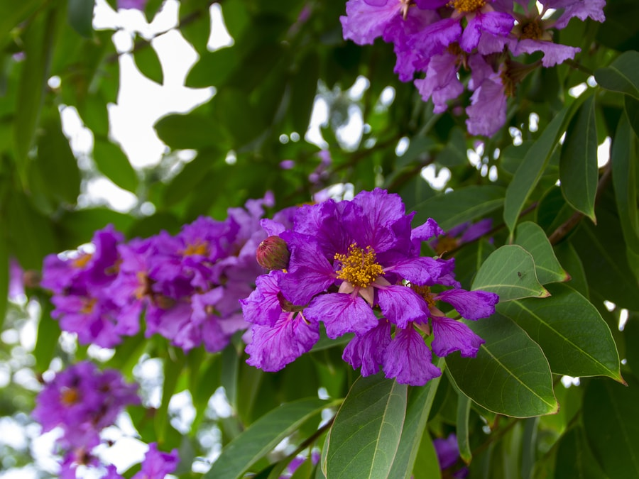 2+ Banaba Leaf Extract Benefits + Side Effects - SelfHacked