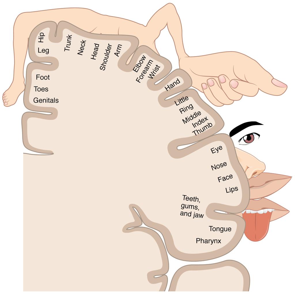 Somatosensory cortex map