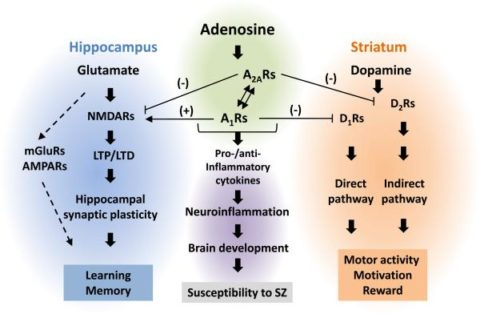 Adenosine effects in the brain