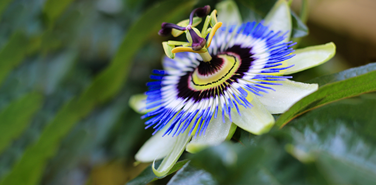 Passion Flower For Anxiety Sleep Benefits Side Effects