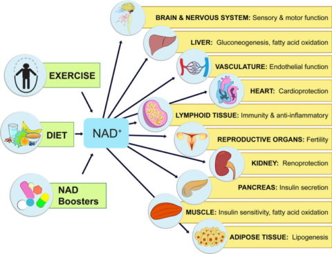 Nicotinamide Mononucleotide (NMN) Dosage & Food Sources