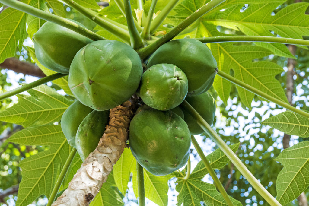 10 Benefits Of Papaya Enzyme Papain Side Effects