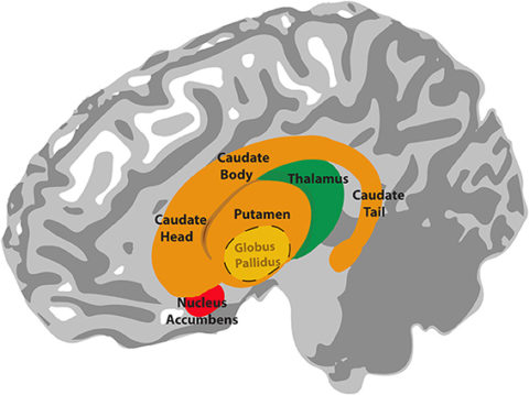 Anatomy of the Basal Ganglia