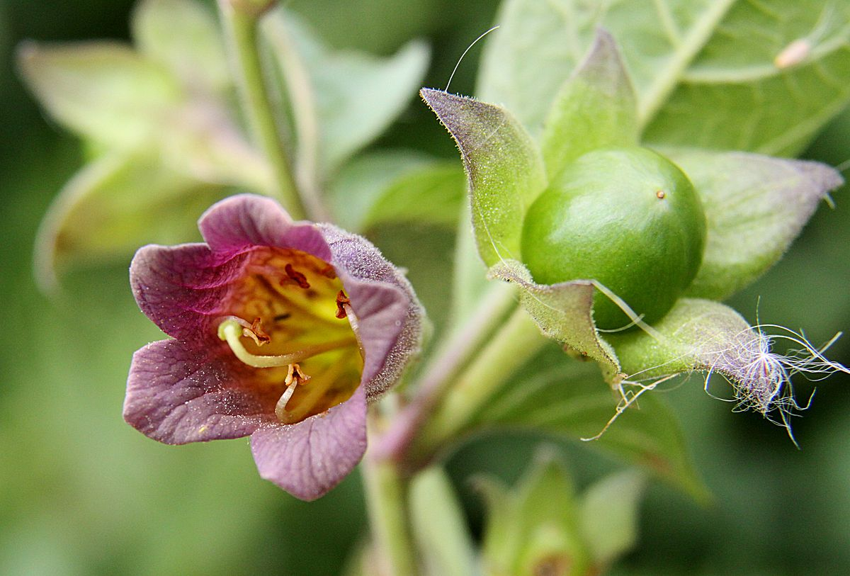 Atropa Belladonna (Deadly Nightshade)