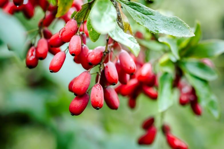 6 Proven Health Benefits of Berberine - SelfHacked
