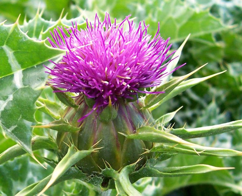 29 Milk Thistle & Silymarin Benefits + Dosage, Side Effects
