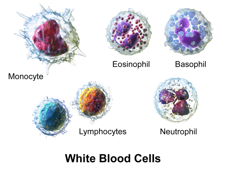 Dangers of High & Low White Blood Cells + Tips to Normalize