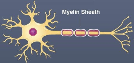55 Natural Ways to Increase Myelin Sheath + Function & Facts