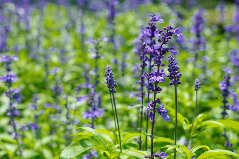 6 Salvia Divinorum Uses + Side Effects, Reviews & Legal