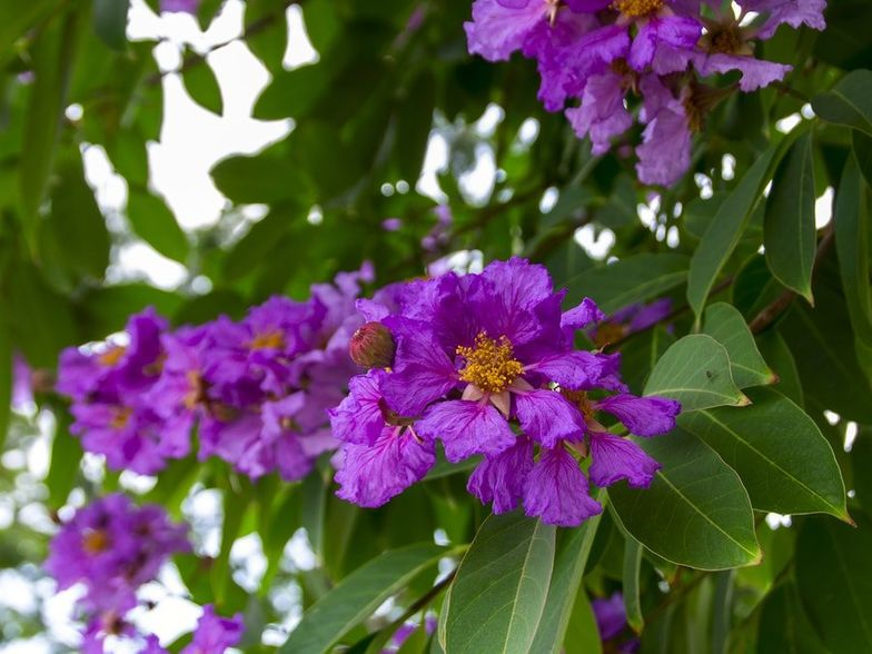 9 Surprising Health Benefits of Banaba Leaf + Side Effects