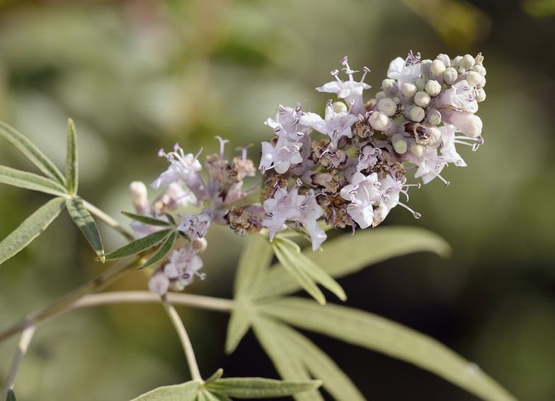 9 Benefits of Chasteberry (Vitex agnus-castus) + Side