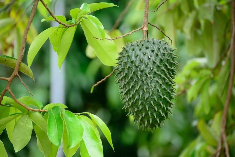 18 Health Benefits of Guanabana (Fruit, Soursop) - SelfHacked