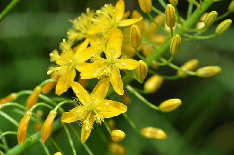 Top 4 Bulbine Natalensis Benefits + Side Effects & Reviews - SelfHacked